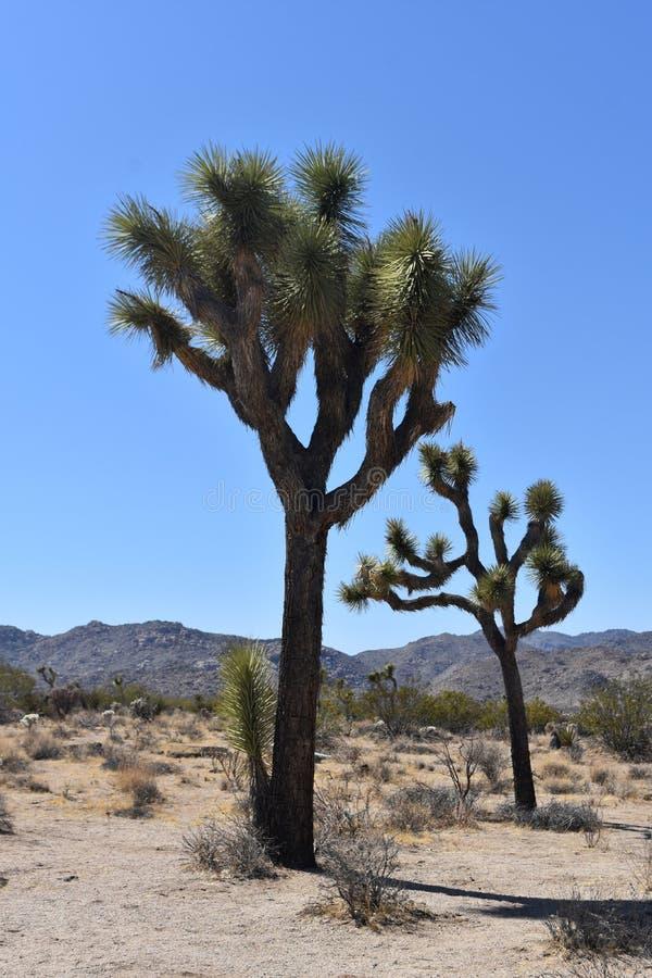 与大冰砾的孤立约书亚树在加利福尼亚 库存照片