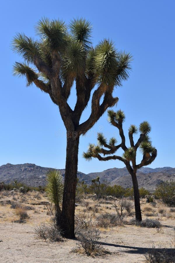 与大冰砾的孤立约书亚树在加利福尼亚 免版税库存照片