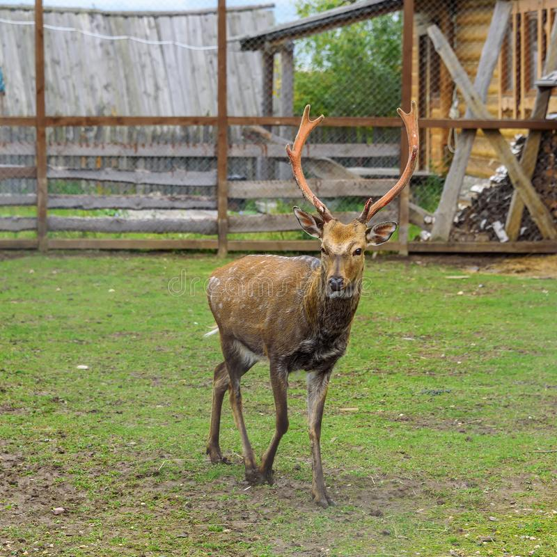 与大垫铁的一头鹿在宽敞封入物在夏天 图库摄影