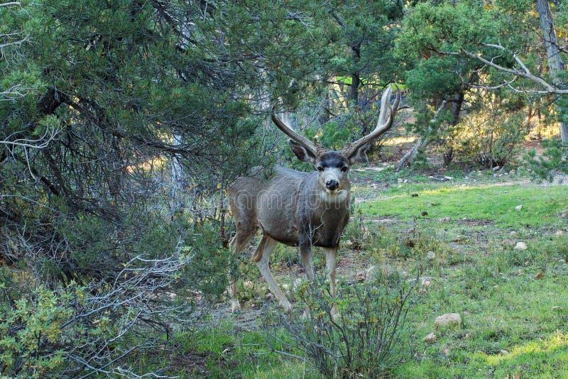 与大垫铁的一头鹿在灌木站立 图库摄影