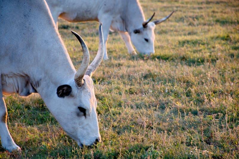 与大垫铁的白色母牛 库存照片