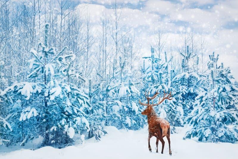 与大垫铁的美丽的鹿男性在冬天多雪的森林冬天自然本底中 库存照片