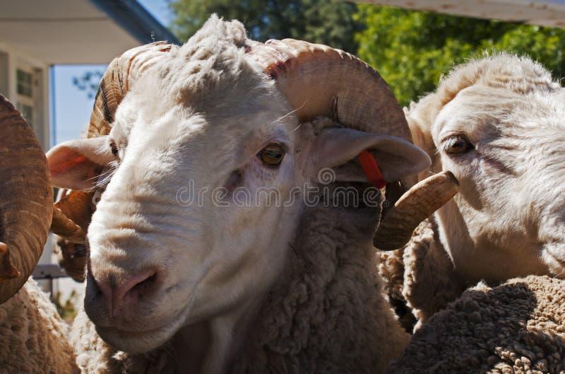 与大垫铁的美利奴绵羊的公羊 库存照片