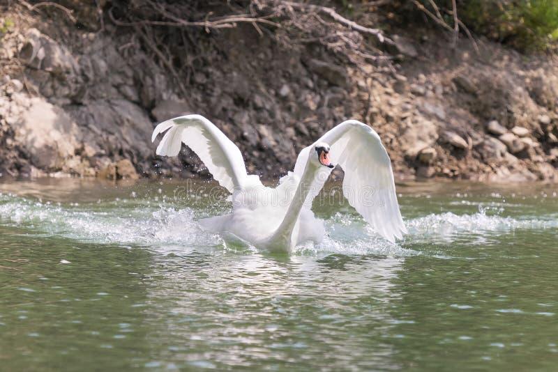 与大开的翼的天鹅,当快速地游泳在湖Beletsi在希腊时 免版税库存图片