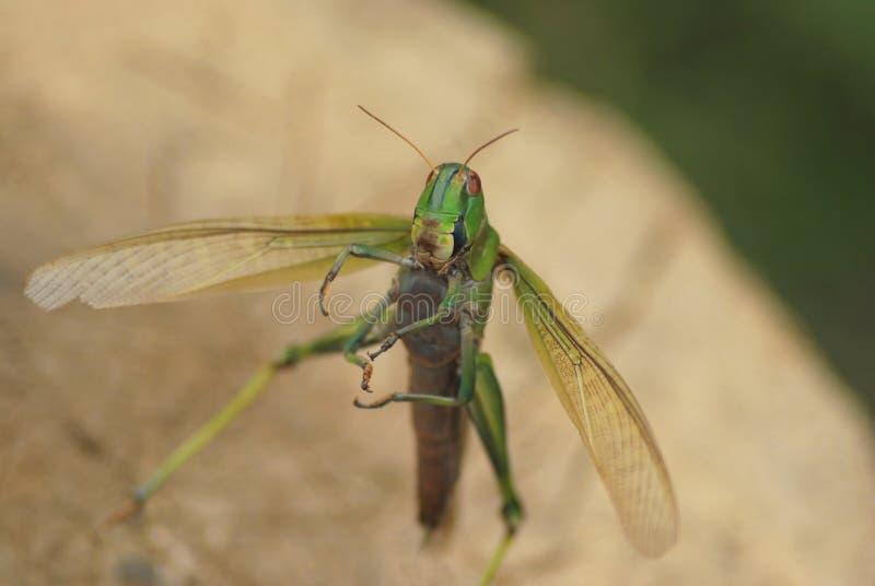 与大开翼的绿色大蝗虫飞行,正面图,软的模糊的bokeh 库存照片