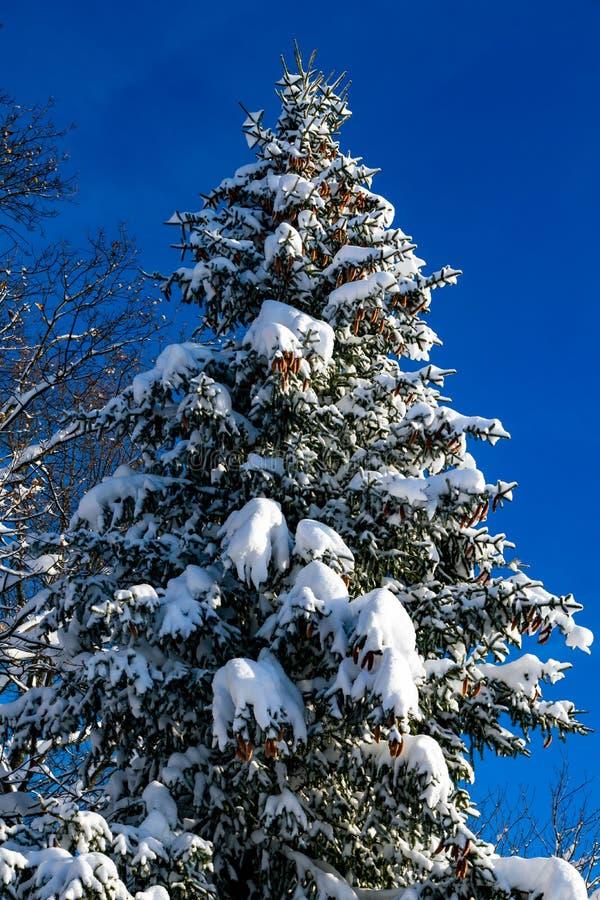 与大杉木锥体的一棵多雪的杉树在冬天风景 图库摄影