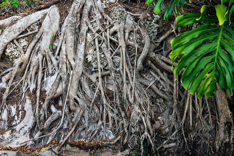 与大树干的百岁人树和在地面上的大根 库存照片