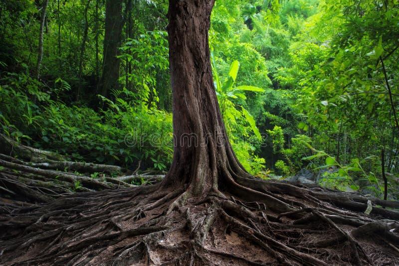 与大根的老树在绿色密林 库存图片