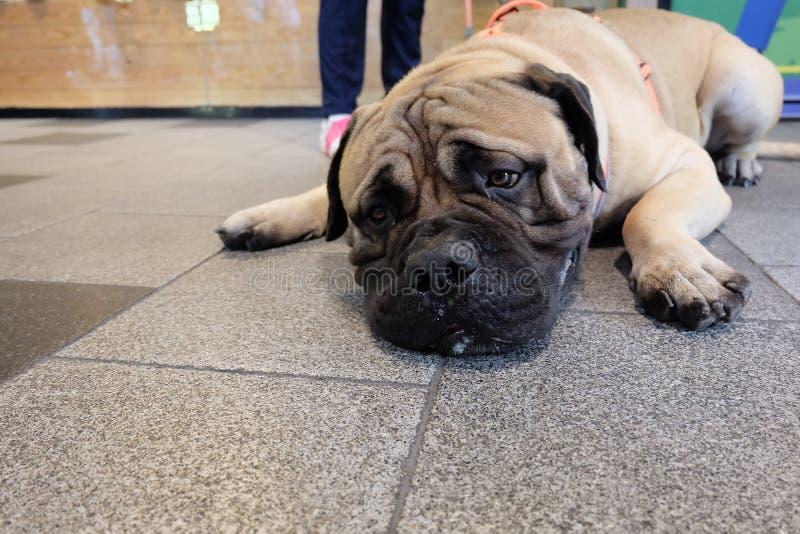 与大棕色躺下眼睛和乏味的面孔的大bullmastiff 免版税图库摄影