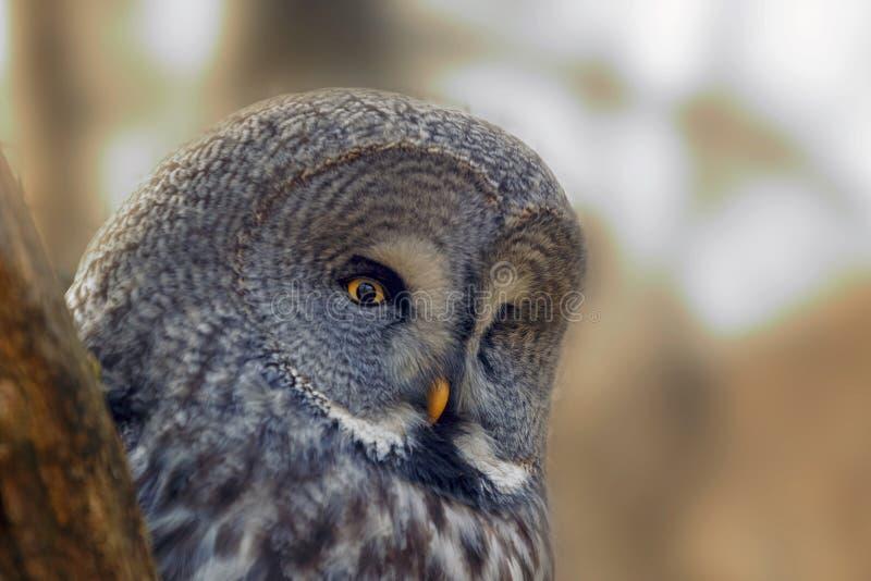 与大橙色眼睛的画象猫头鹰在落叶松属树树干后图片