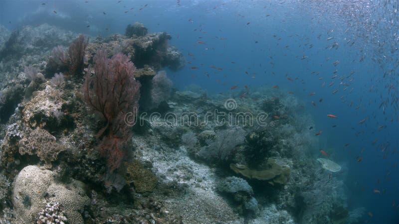 与大海底扇4k的王侯Ampat印度尼西亚珊瑚礁 免版税图库摄影