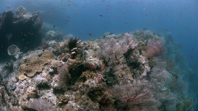 与大海底扇4k的王侯Ampat印度尼西亚珊瑚礁 免版税库存照片