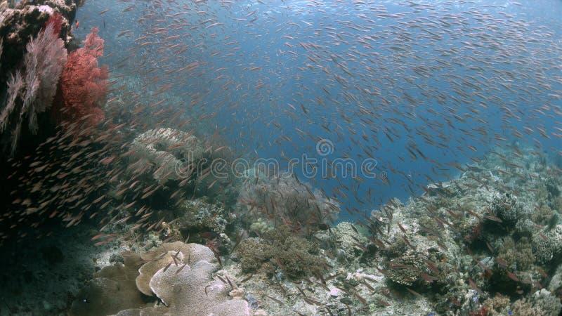与大海底扇4k的王侯Ampat印度尼西亚珊瑚礁 图库摄影