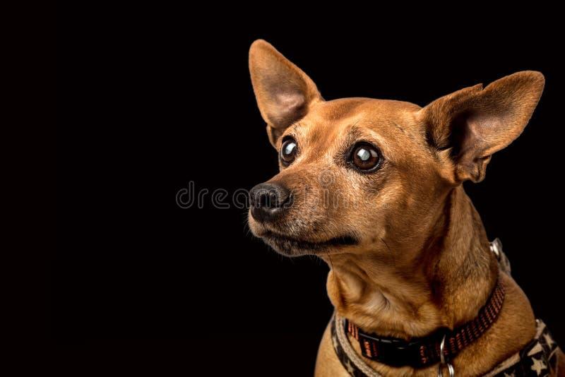 与大瀑布的资深微型短毛猎犬 库存照片