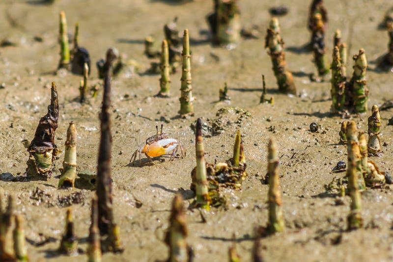 与大爪的小螃蟹在美洲红树根源 免版税图库摄影