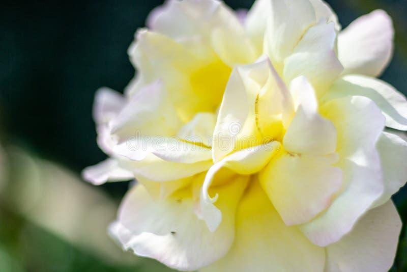 与大瓣的美丽的白玫瑰 图库摄影