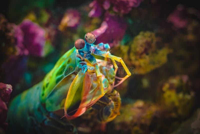 与大眼睛的五颜六色的虾蛄 免版税图库摄影