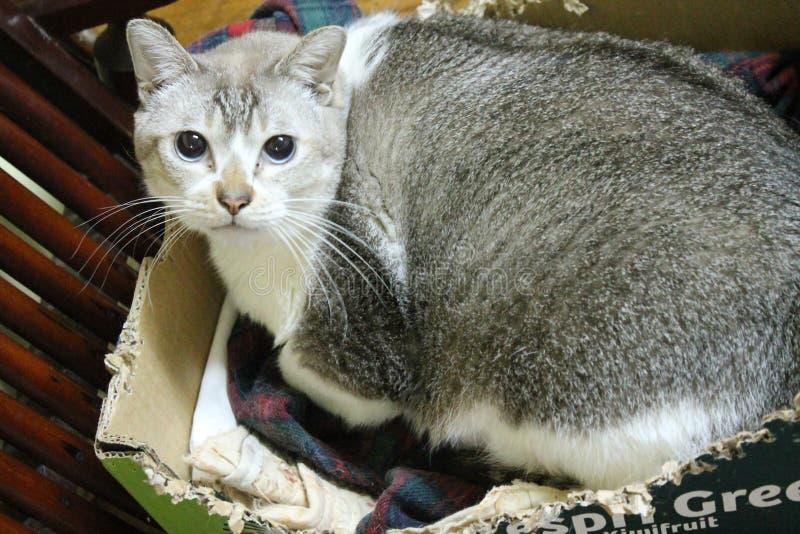 与大眼睛的肥胖猫 免版税图库摄影