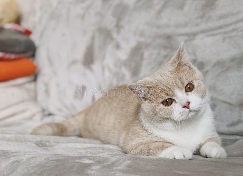 与大眼睛的英国shorthair猫 库存照片