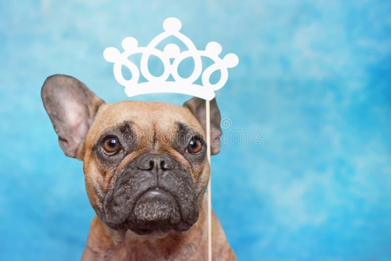 与大眼睛的逗人喜爱的棕色法国牛头犬狗和在头上的公主纸冠照片支柱在蓝色演播室背景 免版税图库摄影