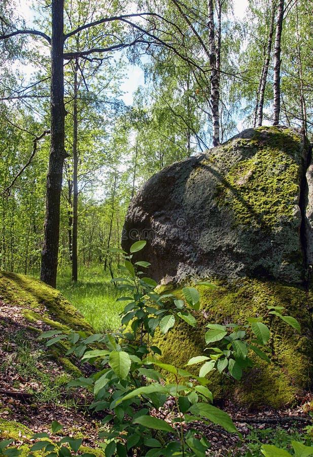 与大石头的自然在桦树森林里 免版税库存照片