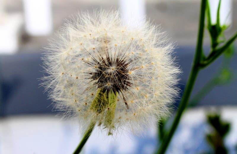 与大种子的巨大的蒲公英为强风等候 免版税库存图片