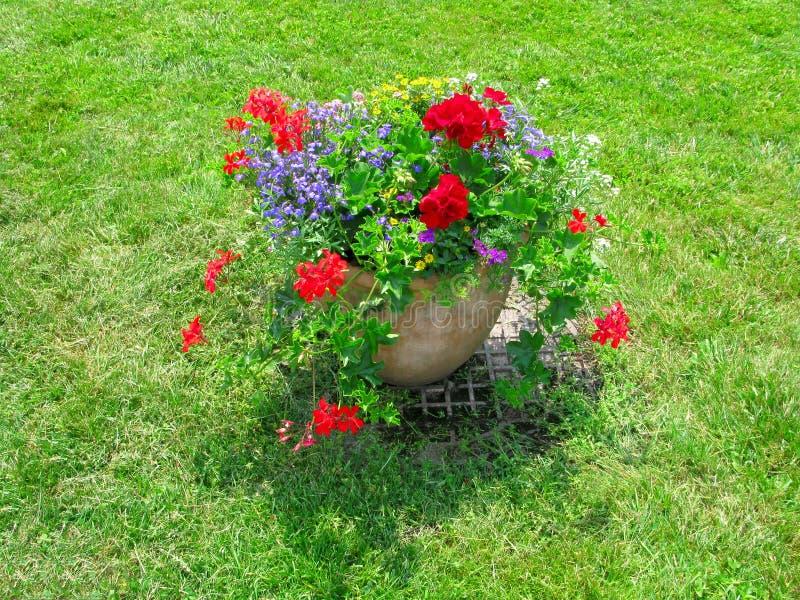 与大竺葵的花盆在绿色草坪 免版税库存照片