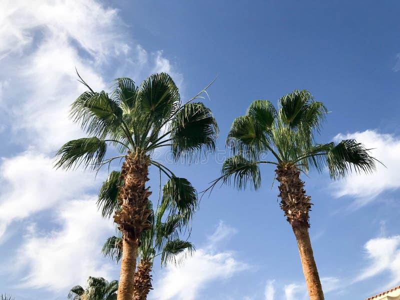 与大绿色叶子的高热带南部的空的棕榈树和反对蓝天的强的强的树干图片