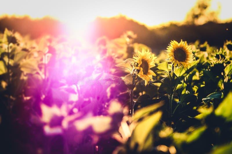 与大量的向日葵领域阳光早晨 库存图片