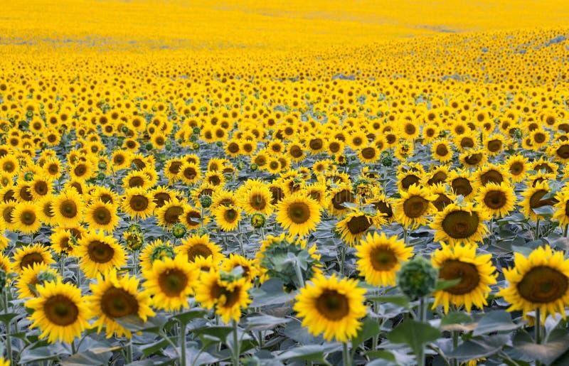 与大量的领域开花的向日葵 库存照片