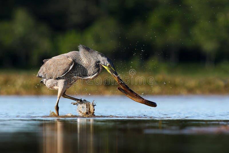 与大鱼的苍鹭 光秃红喉刺莺的老虎苍鹭, Tigrisoma mexicanum,与杀害鱼 行动从哥斯达黎加自然的野生生物场面 库存图片