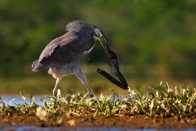 与大鱼的苍鹭 光秃红喉刺莺的老虎苍鹭, Tigrisoma mexicanum,与杀害鱼 行动从哥斯达黎加自然的野生生物场面 免版税库存照片