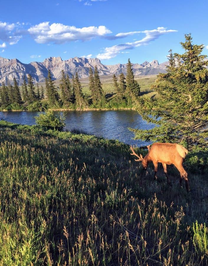 与大鹿角的一只麋吃草在有落矶山的一条河旁边的在背景中在贾斯珀国家公园,阿尔伯塔,加拿大 免版税库存图片