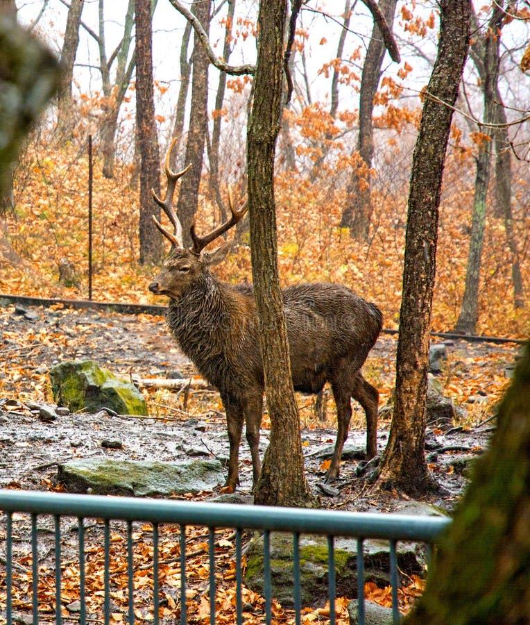 与大鹿角的成人鹿在森林 骄傲地举了他的头 免版税图库摄影