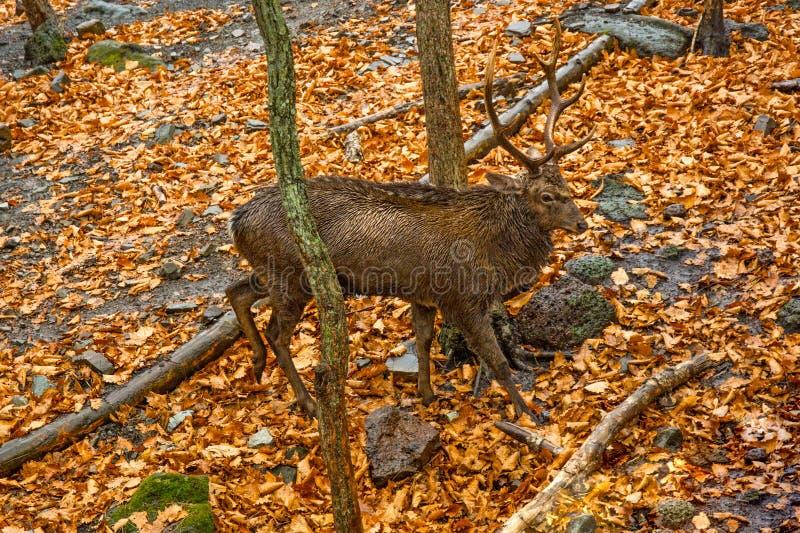 与大鹿角的成人鹿在森林 骄傲地举了他的头 图库摄影