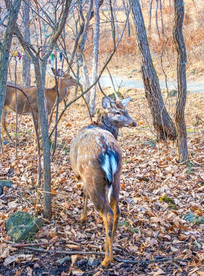 与大鹿角的成人鹿在森林 骄傲地举了他的头 免版税库存照片