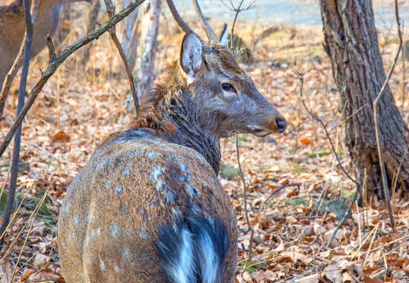 与大鹿角的成人鹿在森林 骄傲地举了他的头 免版税库存图片
