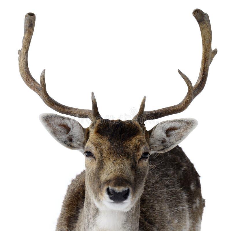 与大鹿角的成年男性鹿 免版税图库摄影