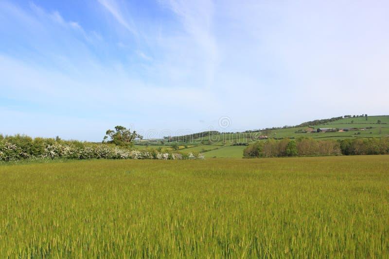 与大麦领域和开花的山楂树树篱的风景春天风景 库存图片