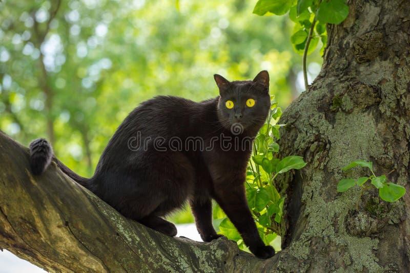 与大黄色眼睛的美丽的滑稽的黑孟买猫坐在夏天自然的一棵树 免版税库存图片