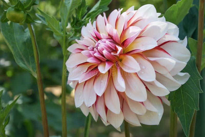与大轻的瓣的美丽的自然大丽花 图库摄影