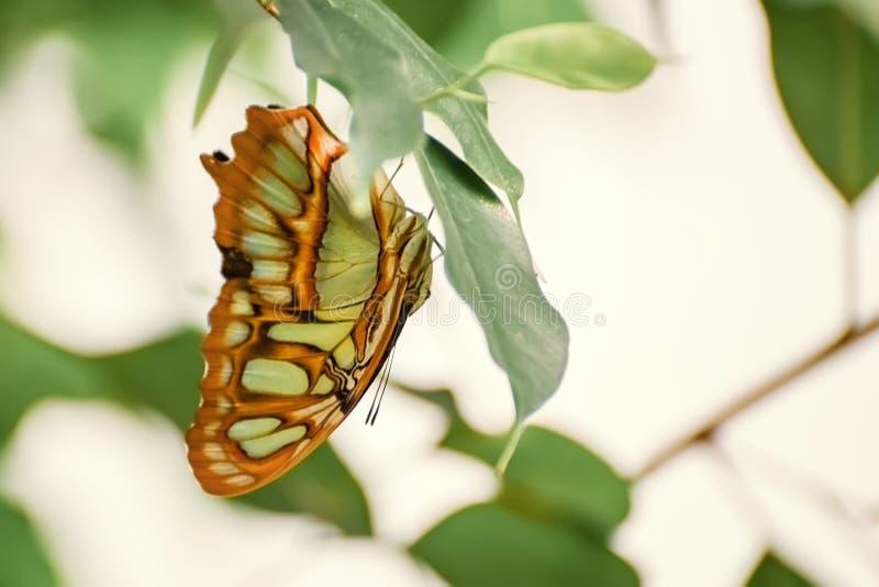 与大黄绿翼的蝴蝶颠倒在生活 Siproeta stelenes 绿沸铜 免版税库存图片