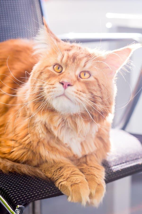 与大黄色眼睛的一只大惊人的橙色猫坐椅子,垂直的看法 免版税库存照片