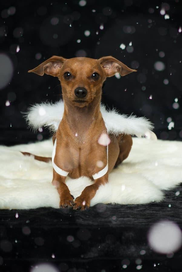 与天使翼的小犬座 免版税库存照片