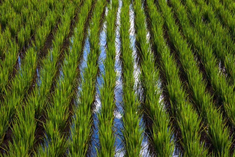 与天空反射的被充斥的米领域 免版税库存图片
