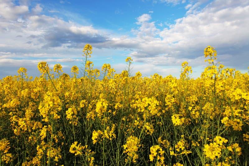 与天空的强奸黄色领域 库存照片