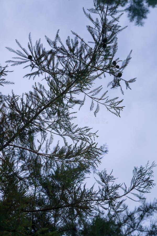 与天空蔚蓝的室外现出轮廓的杉木针纹理词根分支在背景中 库存图片