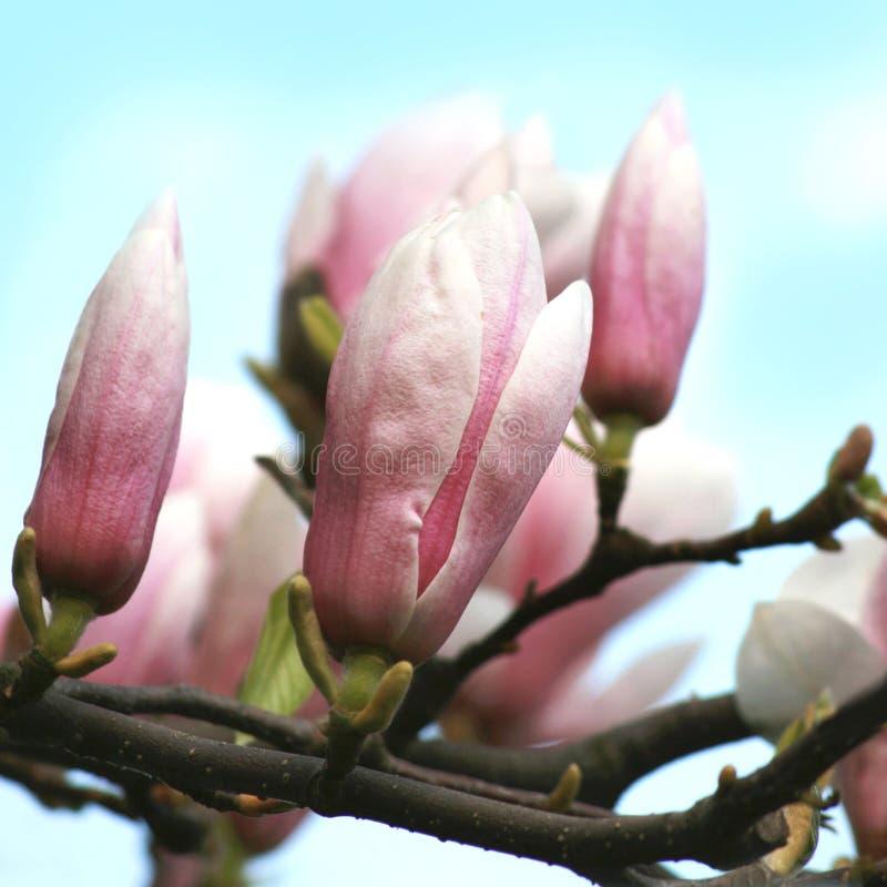 与天空蔚蓝的开花的庭院北美鹅掌楸 免版税图库摄影
