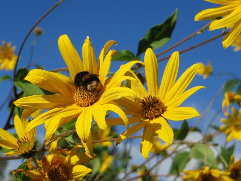 与天空蔚蓝的生物有机自然地黄色花和土蜂和蜂 库存照片