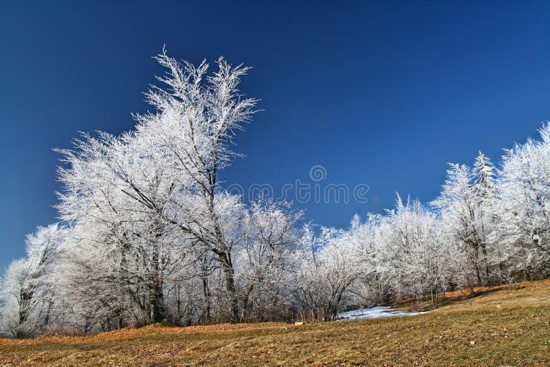 与天空蔚蓝的白色冻树 免版税库存照片